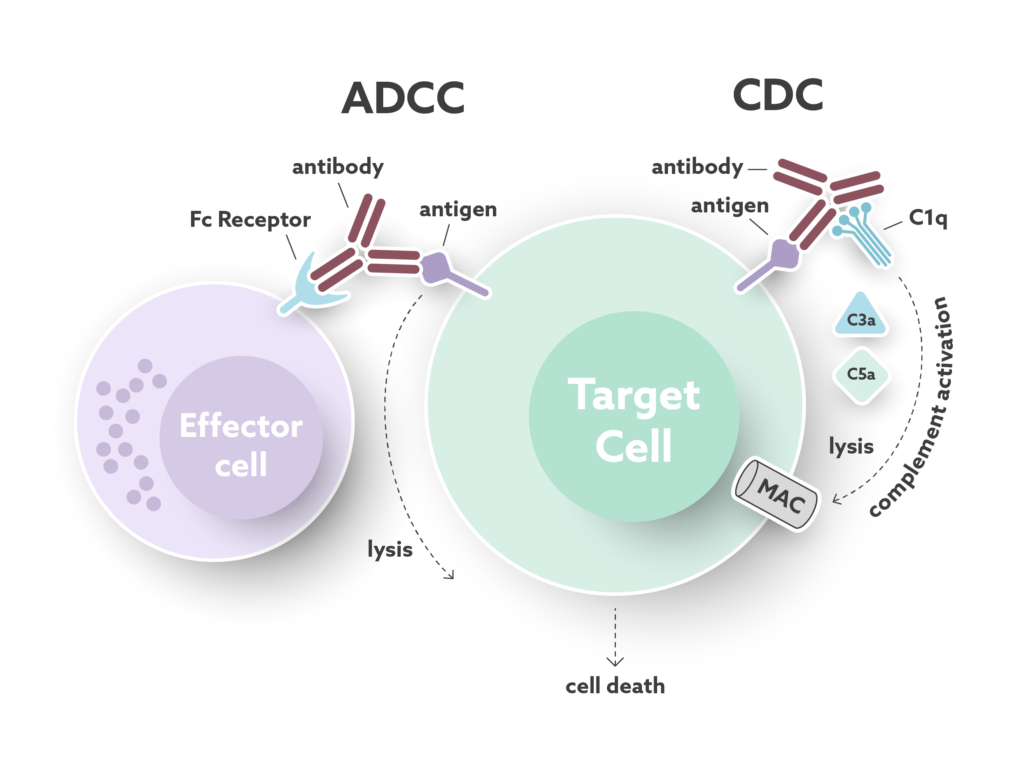 ADCC and CDC mechanism